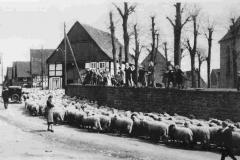 Eine Schafherde zieht durch Albaxen